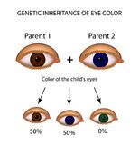 Genetic inheritance of eye color. Brown, blue, green eyes. Infographics.   Royalty Free Stock Photos