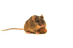 Genetic modification. A genetic modified lab mouse. This is a very special mouse! The modification is visible on the head of the mouse ( white spot Stock Images