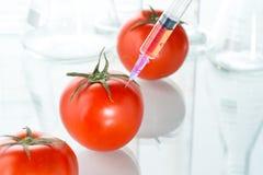 Genetic modification red tomato laboratory glassware on white Royalty Free Stock Photos