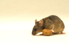 Genetic modified mouse. This is a very special genetic modified mouse. Look at the white spot on his head Stock Images