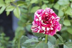 Genetic Rose Royalty Free Stock Image
