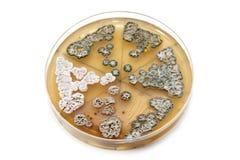 Genetically доработанные грибки на плите агара стоковое изображение