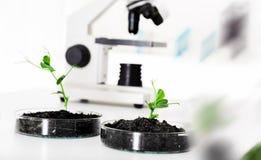 Genetically доработанный завод испытанный в чашка Петри. Стоковые Изображения RF