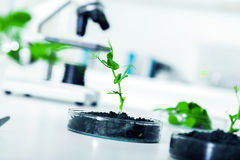 Genetically доработанный завод испытанный в чашка Петри. Стоковые Фото