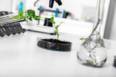 Genetically доработанный завод испытанный в чашка Петри. Стоковое Изображение