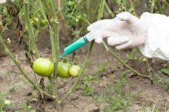 Genetically доработанный овощ стоковое изображение