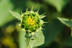 sunflower genetically modified bud macro in the fi Royalty Free Stock Images
