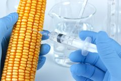 Genetically modified corn Stock Image