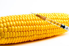 Genetically modified corn Royalty Free Stock Photography