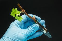 Genetically modified grapes sprout in a glass vial in a gloved hand on a black background royalty free stock photo