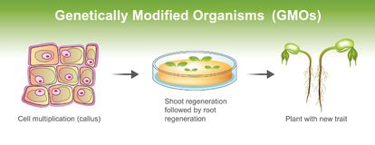 Genetically Modified Organisms. Genetically modified organism GMO is an organism or microorganism whose genetic material has been altered to contain a segment of Royalty Free Stock Photos