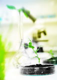 Genetically modified plant tested in petri dish Royalty Free Stock Image