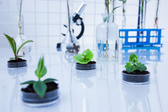 Genetically modified plant tested in petri dish Stock Images