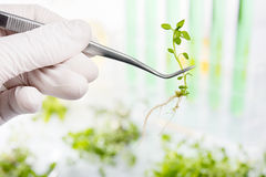 Genetically modified plants. Plant seedlings growing inside of t Royalty Free Stock Images