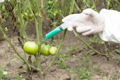Genetically modified vegetable Stock Image