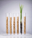 Genetically modified wheat Stock Photography