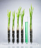 Genetically modified wheat Royalty Free Stock Photo