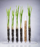 Genetically modified wheat Royalty Free Stock Photos