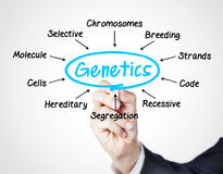 Genetics. Concept sketched on white Stock Photos