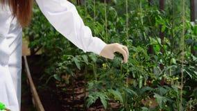 Genetikern kontrollerar tillståndet av de experimentella prövkopiorna av tomater arkivfilmer