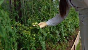 Genetikern kontrollerar tillståndet av de experimentella prövkopiorna av tomater stock video