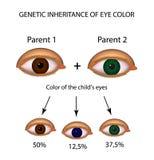 Genetische Erbschaft der Augenfarbe Brown, Blau, grüne Augen Infographics Vektorillustration auf lokalisiertem Hintergrund vektor abbildung