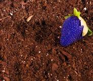 Blaue Erdbeere Stockfoto