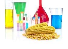 Genetiskt ändrad organism - majs och laboratoriumglasföremål Royaltyfri Fotografi