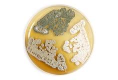 Genetiskt ändrade svampar över vit Arkivfoto