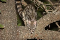Genets Stock Images