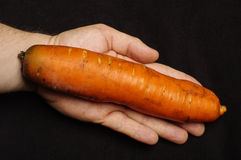 Genetycznie zmodyfikowany organizmu GMO pojęcie: gigantyczna marchewka na ludzkiej palmie fotografia stock