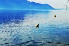 Geneva Lake and swan, Montreaux, Switzerland, Europe Royalty Free Stock Photos