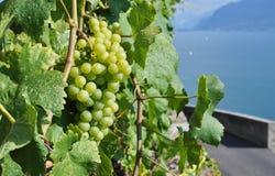 Geneva lake, Switzerland. Grapes against Geneva lake, Switzerland Stock Images