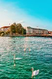 Geneva, Switzerland - August 30, 2016: Swans at Geneva Lake in summer, Geneva, Switzerland. Bergues Bridge on the background. Geneva, Switzerland - August 30 royalty free stock images