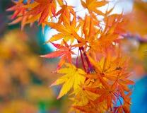 Genevey japansk lönn royaltyfri bild