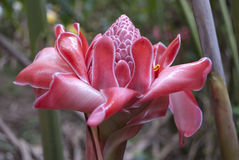 Gengibre cor-de-rosa da tocha, Etlingera Elatior imagens de stock royalty free