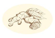 Gengibre do desenho da mão, ilustração do vetor Fotografia de Stock