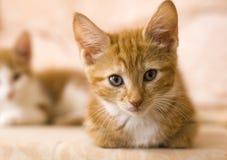 Gengibre e gatinhos brancos Fotografia de Stock