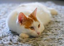 Gengibre e gato branco Foto de Stock Royalty Free