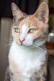 Gengibre e gato branco Imagens de Stock Royalty Free