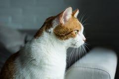 Gengibre e gato branco que olham algo com interesse Imagem de Stock