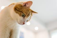 Gengibre e gato branco que olham para baixo Imagem de Stock