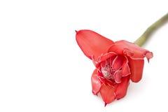 Gengibre tropical da tocha da flor (elatior de Etlingera) Imagens de Stock Royalty Free
