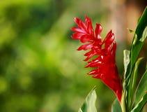 Gengibre vermelho no jardim Fotografia de Stock Royalty Free