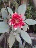Genia flowers royalty free stock image