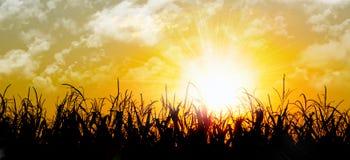 genialna kukurydzanego pola pomarańcze nad wschód słońca Fotografia Royalty Free