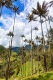 Genialne wosk palmy zdjęcie stock