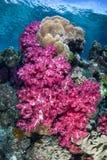 Genialni Miękcy korale Obrazy Royalty Free