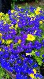 Genialny żółty i błękitny Obrazy Royalty Free
