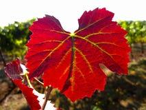 Genialny czerwonego winogrona liść w świetle słonecznym obraz royalty free